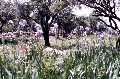 Irisblüte in Zaz - im Jahr 1983
