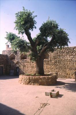 Eindrucksvoller Baum im Innenhof der Kirche von Baksyan